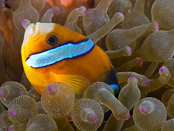 anemonefish - underwater photography
