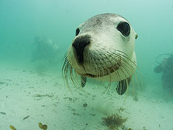 sealion-at-jurien-bay